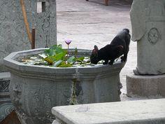 Temple cat, Wat Pho, Bangkok