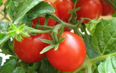 рост помидоров