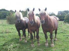 Comtois horses