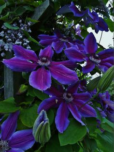Clematis (by Volvoman.Margate)