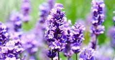 Para que serve a Alfazema e como usar esta Planta Medicinal