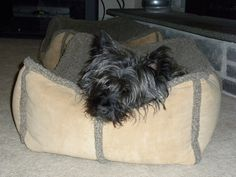 Col. Potter Cairn Rescue Network: Sunday Sweets Cairn terrier Brodie