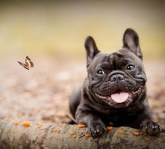 Everything About The Smart French Bulldog Dogs Temperament French Bulldog Brown, Merle French Bulldog, White French Bulldog Puppies, French Dogs, French Bulldogs, Cute Animal Photos, Best Dogs, Cute Dogs, Dog Lovers