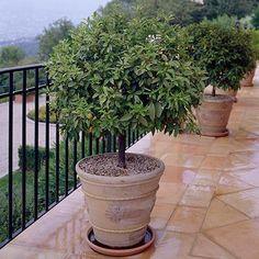 Patio Trees, Indoor Trees, Patio Plants, Potted Plants, Garden Plants, Kumquat Tree, Fast Growing Trees, Warm Spring, Drought Tolerant