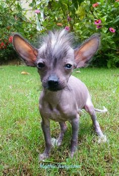 SPLINTER! No...wait. Chinese Crested.