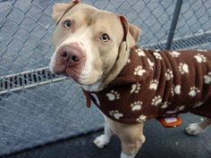 TO BE DESTROYED - 12/29/14 Manhattan Center   My name is THE ROCK. My Animal ID # is A1022814. I am a male tan and white pit bull mix. The shelter thinks I am about 2 YEARS   I came in the shelter as a STRAY on 12/10/2014 from NY 10473, owner surrender reason stated was STRAY.
