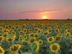 Proshots - Field of Sunflowers at Sunset, Texas - Professional Photos