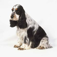 """Get wonderful pointers on """"cocker spaniel dog"""". They are offered for you on our website. Spaniel Breeds, Spaniel Puppies, Dog Breeds, Dogs And Puppies, Doggies, Black Cocker Spaniel, American Cocker Spaniel, Springer Spaniel, Working Cocker"""