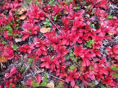 Alpine bearberry Plants, Plant, Planets