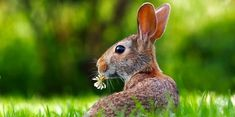 Free Image on Pixabay - Rabbit, Hare, Animal, Cute Tier Wallpaper, Animal Wallpaper, Wildlife Wallpaper, Wallpaper Pictures, Clover Lawn, Rabbit Repellent, Hare Animal, Animal Eating, Pet Shop Online