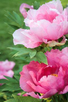 25 Super ideas for flowers peonies photography floral Amazing Flowers, Pink Flowers, Beautiful Flowers, Flor Magnolia, Decoration Plante, Peonies Garden, Flower Wallpaper, Ikebana, Watercolor Flowers