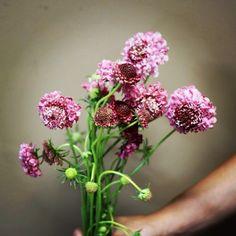 Jessica Zimmerman | zimmermanevents.com #jessicazimmerman #zimmermanevents #florist #floraldesign #scabiosa