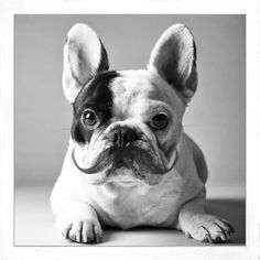 Frenchies + mustache = cuteness overload