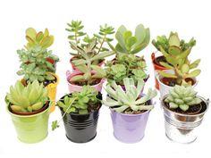Lesplantes succulentes, dites aussiplantes grasses, sont reconnaissables à leurs tiges et feuilles charnues dans lesquelles elles stockent leurs réserves en...