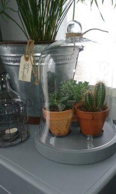 Cactusjes onder een stolp