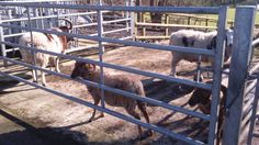 Goats on Pelaw's Bill Quay farm