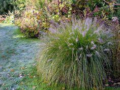 Gräser: L a m p e n p u t z e r g r a s , auch ein sehr schönes Gras. Treibt leider sehr spät aus, so dass ich manchmal schon gedacht habe, es sei erfroren. Doch es hat Jahrzehnte am...