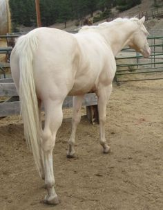 Mr Yella Trendsetter, Cremello Quarter Horse Stallion