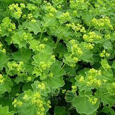 Alchemilla mollis/Lady's Mantle is an herbaceous perennial ground cover plant which seeds itself obligingly, all over the garden. It is happy in full sun or partial shade where it will make a height and spread of Source: FindMePlants Cottage Garden Plants, Garden Shrubs, Shade Garden, Garden Bar, Flowers Perennials, Planting Flowers, Alchemilla Mollis, Edging Plants, Cut Flower Garden