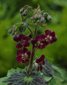 Geranium phaeum 'Samobor' Pot size: 1 Litre Plant size: 45cm (18in) Growing condition: Partial - full shade Flowering season: May to June