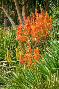 Landscaping with aloe hybrids | SA Garden and Home Agaves, Color Splash, Aloe, Succulents, Landscape, Flowers, Plants, Gardens, Autumn
