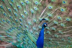 Peacock by Marco Schmidt on 500px