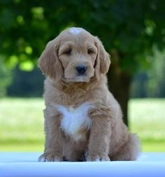 Trained Goldendoodles Available for Adoption