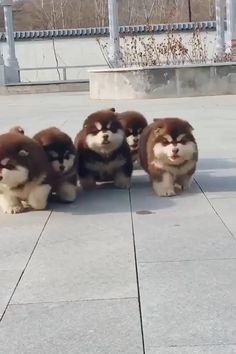 Fluffy Animals, Cute Animals, Cute Puppies, Cute Dogs, Alaskan Malamute, Funny Animal Videos, Chow Chow, Say Hi, Penguins