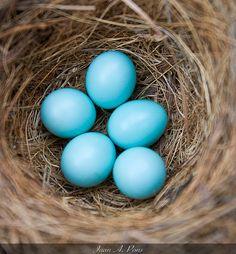 Basics of monitoring Bluebird and other birds nest boxes — The Wood Thrush Shop Bluebird Nest, Bluebird House, Bluebird Cafe Nashville, Bluebird Tattoo, Blue Bird Art, Blue Eggs, Cross Stitch Bird, Nesting Boxes, Little Birds