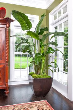 Get a White Bird of Paradise plant shipped to your door. PLANTZ has high quality Bird of Paradise plants for sale. Call to buy a Bird of Paradise Plant. Hanging Plants, Potted Plants, Indoor Plants, Garden Plants, Veg Garden, Indoor Gardening, Garden Tips, House Plants Decor, Plant Decor