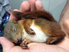 Arne, four weeks. Sleeping squirrel baby.