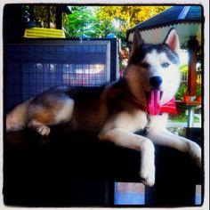 My lovely husky *^^*