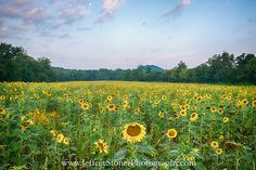 """""""Moon Over the Sun"""" This image was made in a sunflower field near Knoxville in northeast Tennessee. I rode my bicycle down the nature trails to get to this spot. The clouds were beginning to turn pink and the moon was still visible when I snapped the shutter. East Tennessee, Sunflower Fields, Latest Images, My Ride, Shutter, Vineyard, Trail, Beautiful Places, Bicycle"""