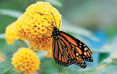 Small-Space Butterfly Gardens    http://www.birdsandblooms.com/Butterflies/Spring/Butterfly-Gardens