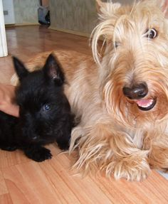 Beautiful Red Wheaten Scottie (Looks alot like my sweet Bonnie) and his son.  Apparently, wheaten is a recessive gene.