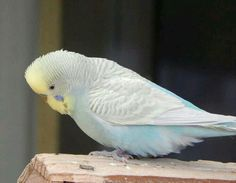This looks a lot like my first budgie, Peabody (P.B.) He was a sweetheart and a talker!