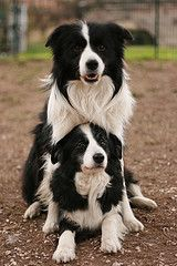"Border Collies - looks like Dexter could be a border collie mix (the mane and ""broken ears"""