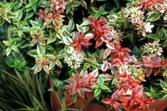Kaleidoscope Abelia: A Compact Flowering Colorful Shrub- These butterfly-attracting beauties are easy to grow and require little maintenance. They thrive in full sun and well-drained soil. They are drought and heat tolerant and are most successful in USDA Zones 6–9.