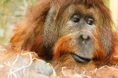 orangutan   Vintage Photograph