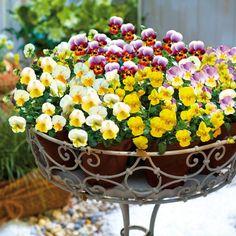Fabulous Ein echter Hingucker mit sehr gro en Bl ten ist der Hartriegel uCornus Venus u Seine Zweige sind zudem ideal f r die Vase Gefunden auf tom gar u