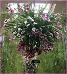 Hanging orchids, how spectacular! How to grow these beauties https://www.houseplant411.com/houseplant/cymbidium-orchids-how-to-grow-care