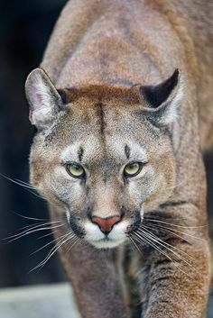 ~~Approaching puma looking at me by Tambako the Jaguar~~