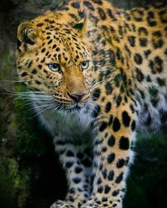 Amur Leopard | Photo by ©Phillip Burgess #wildlifeowners