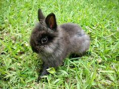 Lionhead Rabbit, Jasper.