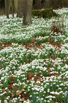 Snowdrops  early bloomer for NH, plant on a Southern exposed hill (gardening-guy.com)