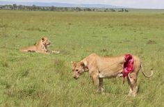 Aftermath of a Lioness encounter with a Buffalo. Kenyan Safari surgeons eventually rescued her, so she is still alive but dam that looks like it hurts.