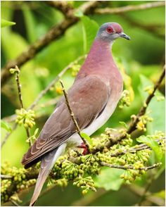 Pale-vented Pigeon3