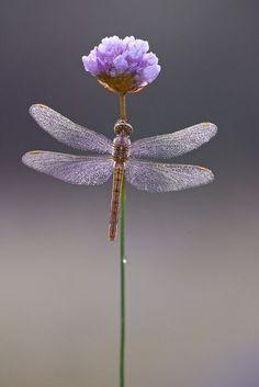 Dragonfly on Flower - Garden