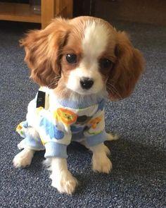 Cavalier King Charles Spaniel Ruby - Belezza,animales , salud animal y mas King Charles Puppy, Cavalier King Charles Dog, Cute Baby Dogs, Cute Dogs And Puppies, Doggies, Cute Little Animals, Cute Funny Animals, Spaniel Puppies, Cute Animal Pictures