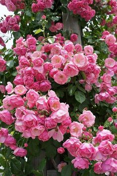 Floribunda Climbing Rose: Rosa 'Angela, Cl' (sport of 'Angela') because I need flowers all year long! Amazing Flowers, Beautiful Roses, My Flower, Beautiful Gardens, Beautiful Flowers, Pink Roses, Pink Flowers, Coming Up Roses, Pink Garden